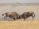 wildebeest-nxai-pan