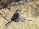 yellow-billed-hornbill