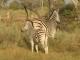 zebra-with-foal