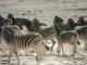 zebras-etosha