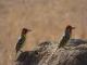 african-barbets-tarangire