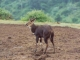bushbuck-aberdares