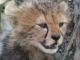 cheetah-cub-masai-mara