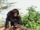 chimpanzee-sweetwaters_1
