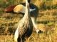 crowned-cranes-masai-mara