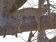 curious-leopard-tarangire