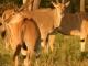 eland-masai-mara