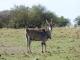 eland-masai-mara_1
