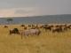 grazing-in-the-mara