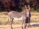 grevy-zebra-samburu
