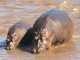 hippos-mara-river
