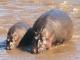 hippos-mara-river_0