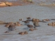 hippos-mara-river_2