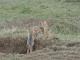 jackal-pups-masai-mara