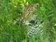 leopard-masai-mara_1