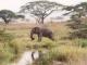 lone-bull-ele-serengeti