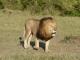 magnificent-male-lion
