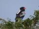 majestic-bateleur-eagle
