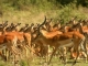 male-impala-with-his-harem