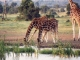 reticulated-giraffe-sweetwaters_0