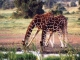 reticulated-giraffe