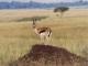 thomson-gazelle-masai-mara