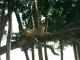 tree-climbing-lion-masai-mara