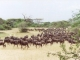 wildebeest-formation