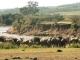wildebeest-mara-river