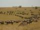 wildebeest-on-the-move