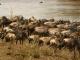 wildebeest-ready-to-cross