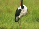 yellow-billed-stork