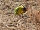 yellow-collared-lovebird