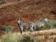 damaraland-zebra