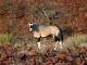 desert-oryx
