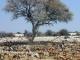 etosha-springbok