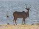 male-kudu_0