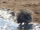 porcupine-at-waterhole