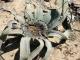 welwitschia_0