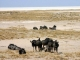wildebeest-etosha-pan