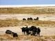 wildebeest-etosha-pan_0