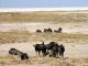 wildebeest-etosha-pan_1