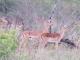 alert-impalas