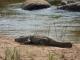 basking-crocodile