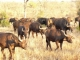 buffalo-herd-kruger