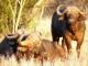 buffalo-morning-sun