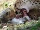 cheetah-family-feeding