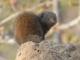 dwarf-mongoose