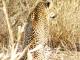 elusive-leopard-kruger