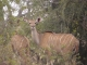 female-kudu
